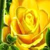 Logo YellowRose