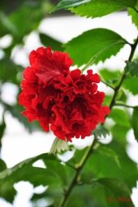 japonese-rose